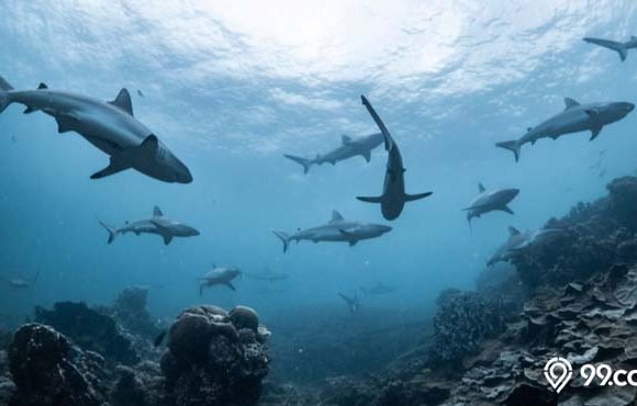 vaksin covid-19 membunuh hiu
