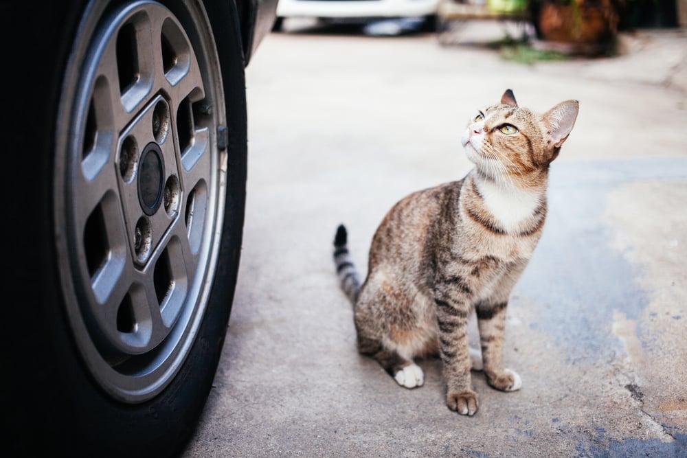 mitos kucing tabrakan