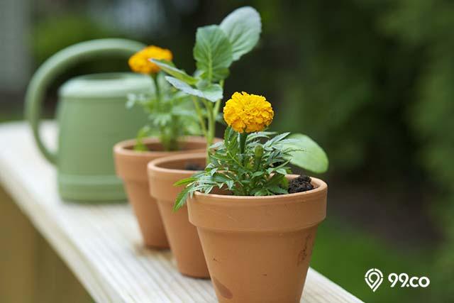 wadah bunga marigold