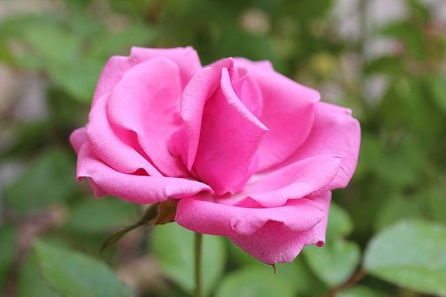 warna bunga mawar