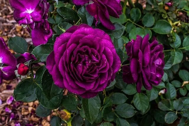 10 Warna Bunga Mawar Dan Maknanya Apa Favoritmu