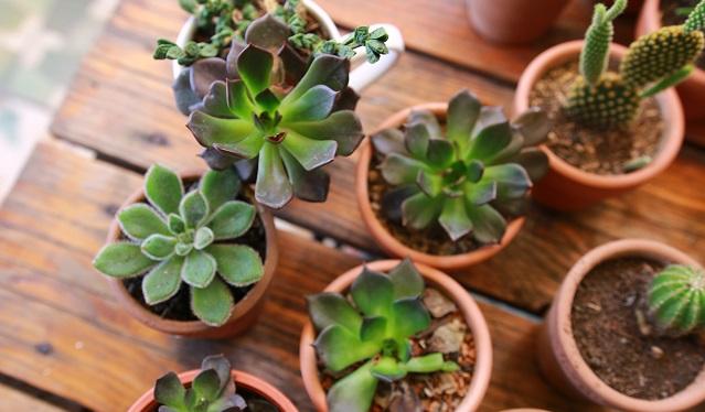 Tanaman Succulent