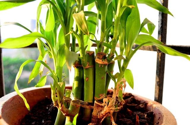 Bambu Hoki Fengshui - Ini Tips Merawatnya Agar Rumah Makin Berkah