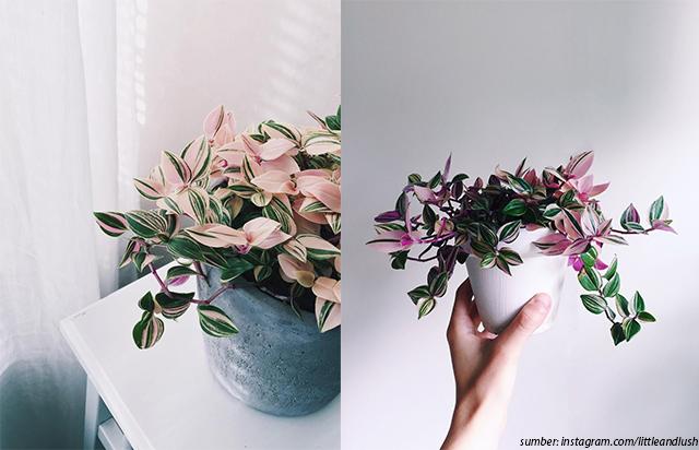 tumbuhan berdaun merah muda Tradescantia Tricolor