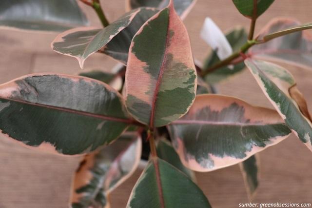 Ficus Doescheri