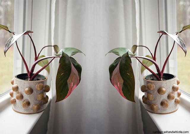 Philodendron Erubescens