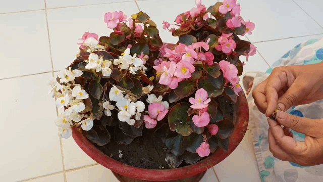 cara merawat bunga begonia